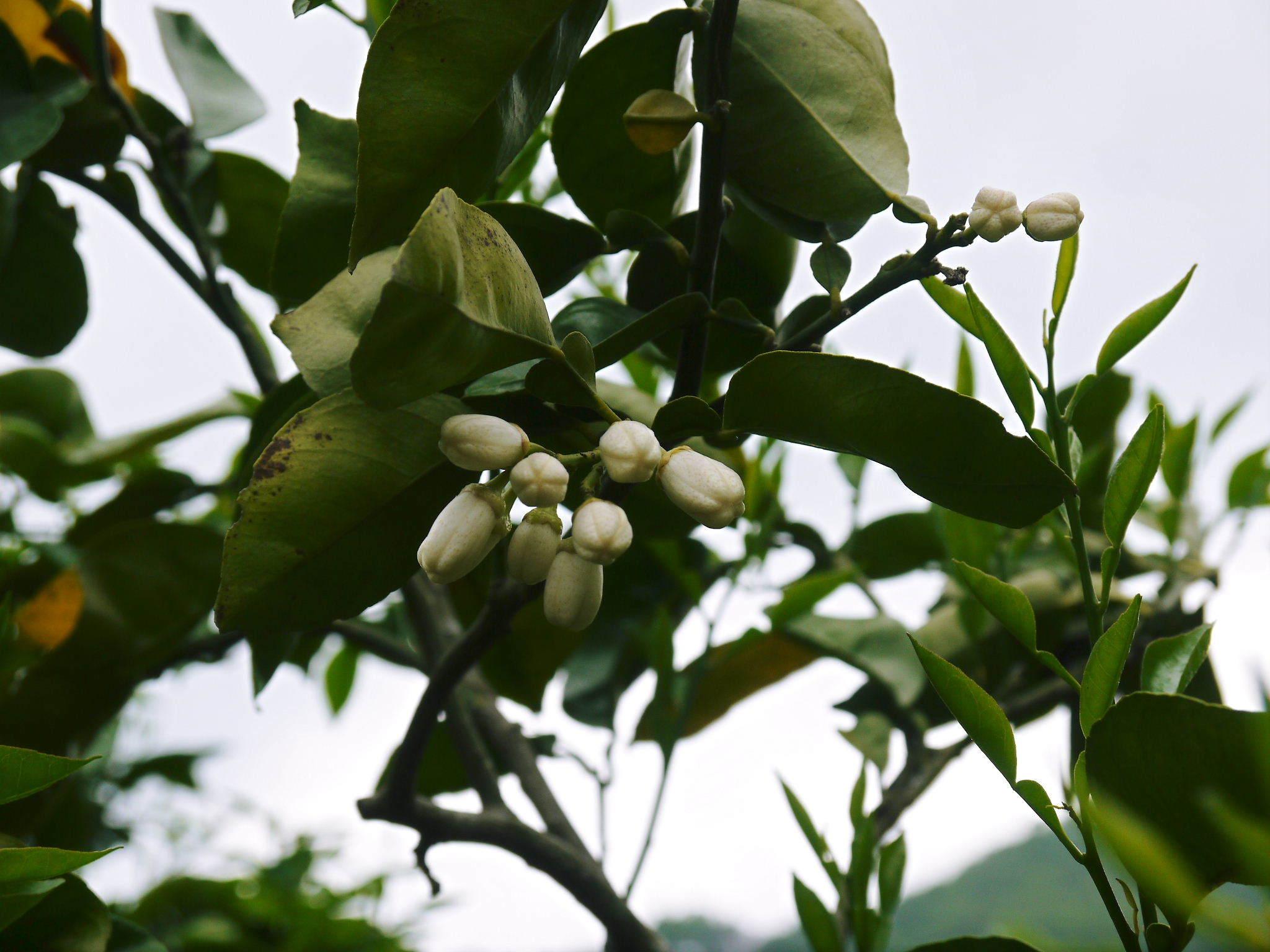 種なしかぼす 花咲く様子(2020) 今年は花が少なくその分玉太りは良いですが収量は激減しそうです!_a0254656_18205311.jpg