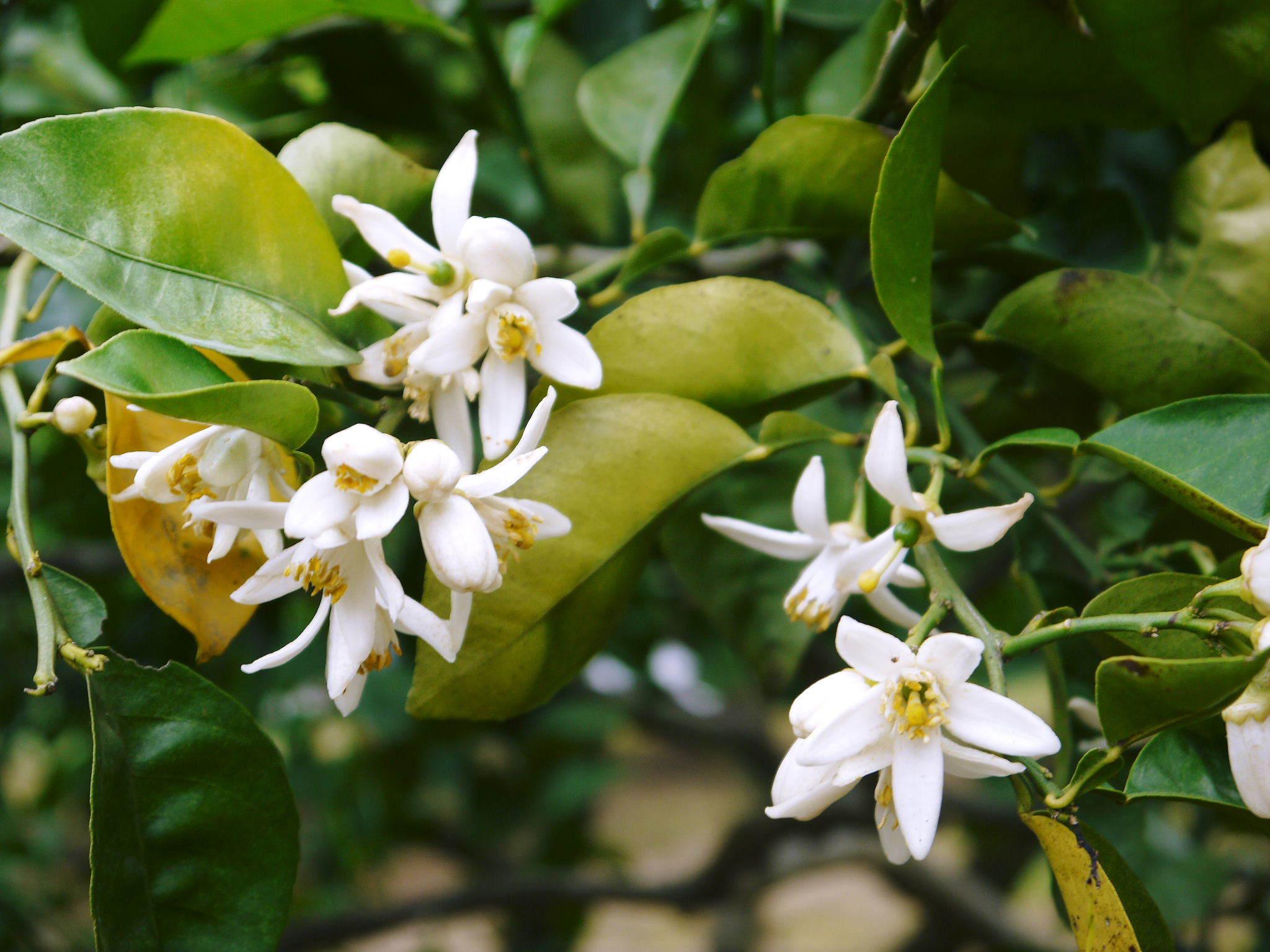 種なしかぼす 花咲く様子(2020) 今年は花が少なくその分玉太りは良いですが収量は激減しそうです!_a0254656_18235071.jpg