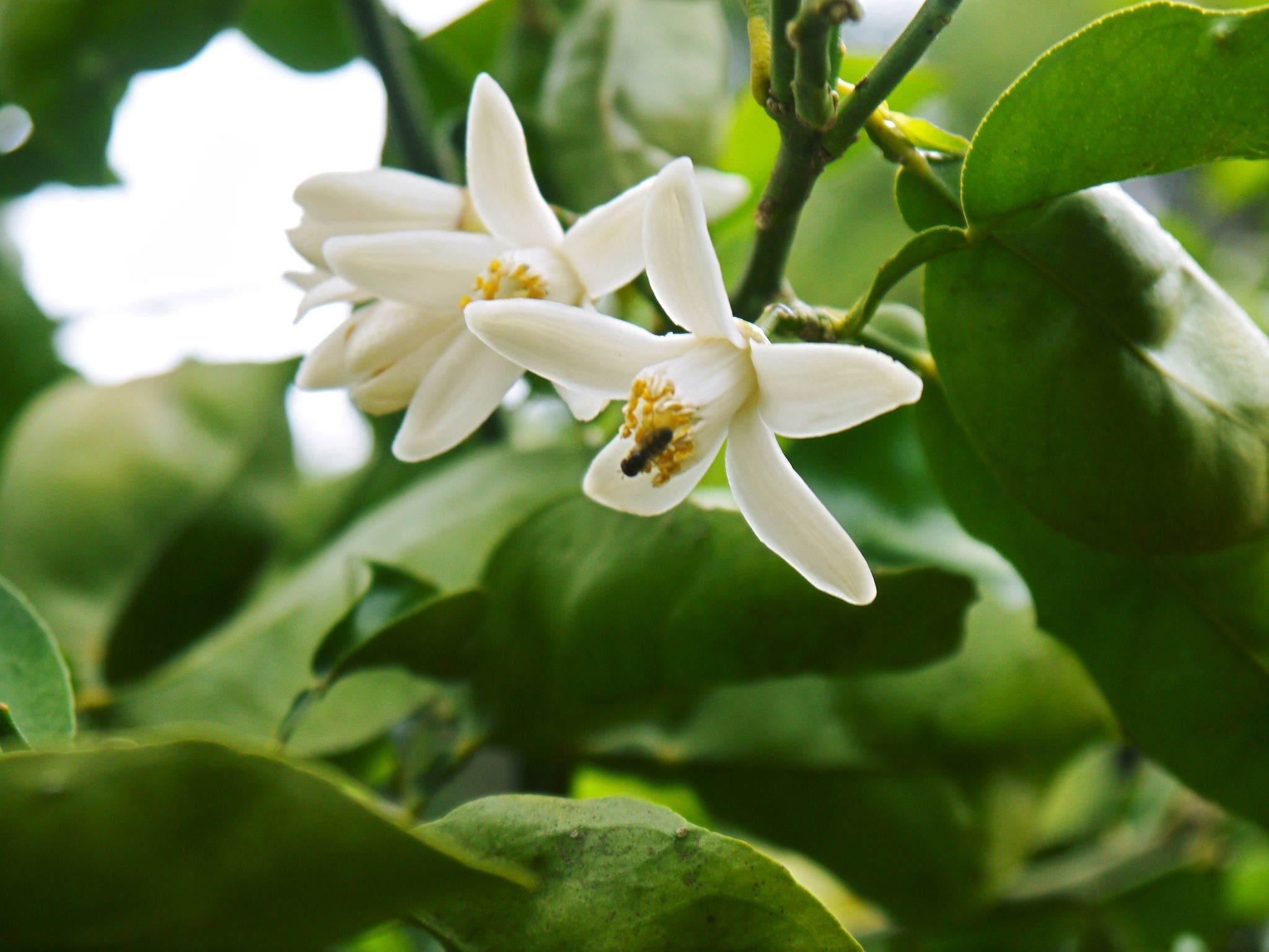種なしかぼす 花咲く様子(2020) 今年は花が少なくその分玉太りは良いですが収量は激減しそうです!_a0254656_18255163.jpg