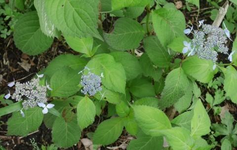 初夏を彩るヤマアジサイ周辺を下刈り5・21_c0014967_06465379.jpg