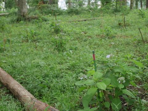 初夏を彩るヤマアジサイ周辺を下刈り5・21_c0014967_06484422.jpg