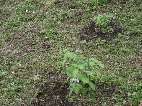 初夏を彩るヤマアジサイ周辺を下刈り5・21_c0014967_06493935.jpg