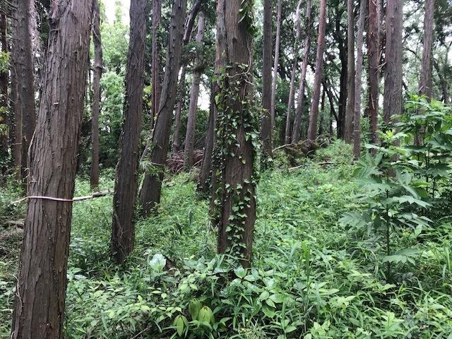 初夏を彩るヤマアジサイ周辺を下刈り5・21_c0014967_06502648.jpg