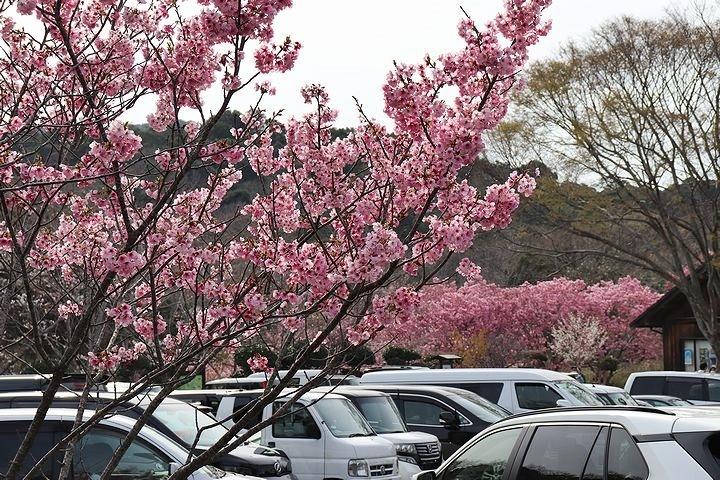 満開の陽光桜と。【誕生日旅行4】_b0111376_15345510.jpg