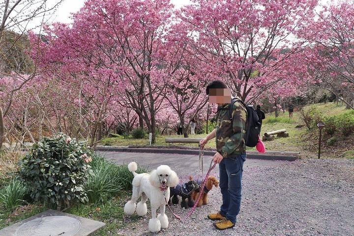 満開の陽光桜と。【誕生日旅行4】_b0111376_15355193.jpg