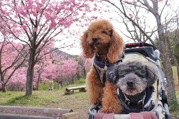 満開の陽光桜と。【誕生日旅行4】_b0111376_15471574.jpg