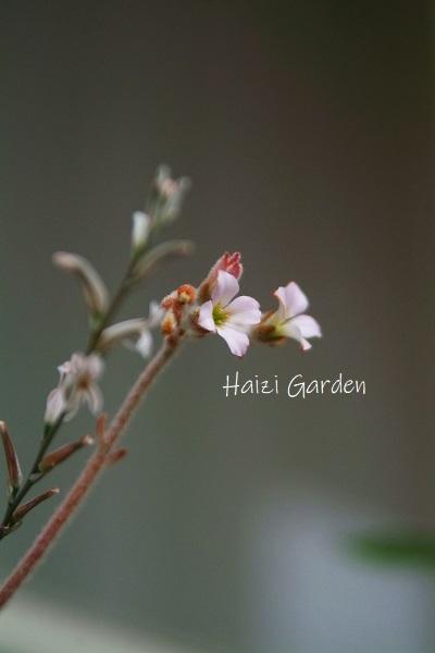 アルプス乙女と多肉のお花も可愛いヨ~(•ө•)♡_a0394182_19453123.jpg