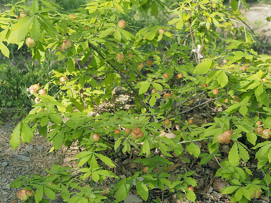 ナラメリンゴフシにかかわる観察(1) 虫えいとコナラ_d0163696_17454922.jpg