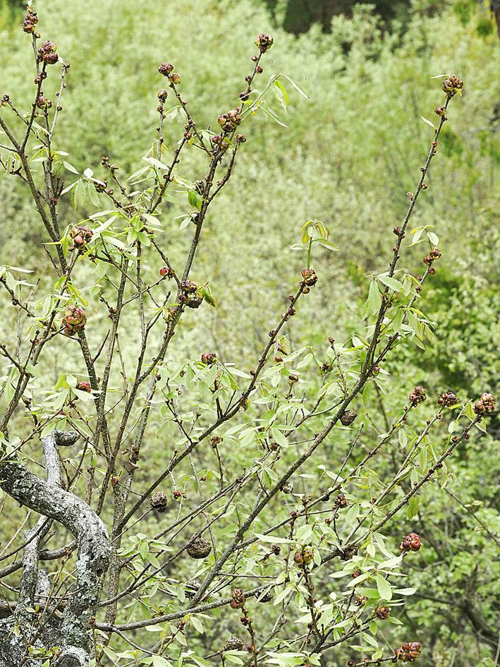 ナラメリンゴフシにかかわる観察(1) 虫えいとコナラ_d0163696_17460514.jpg