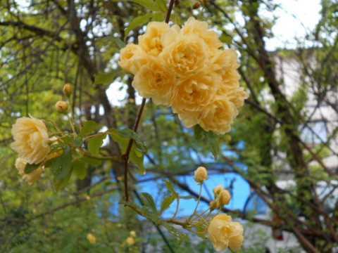 庭のモッコウバラが咲き始めた_f0019498_07570050.jpg