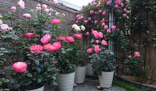 最後のバラは「ギドゥモーパッサン」_e0289203_22044607.jpg