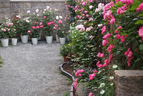 最後のバラは「ギドゥモーパッサン」_e0289203_22044849.jpg