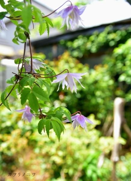 フローラリア咲く5月23日の庭_d0380314_20084662.jpg
