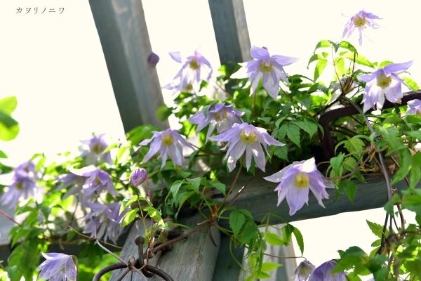 フローラリア咲く5月23日の庭_d0380314_20085230.jpg