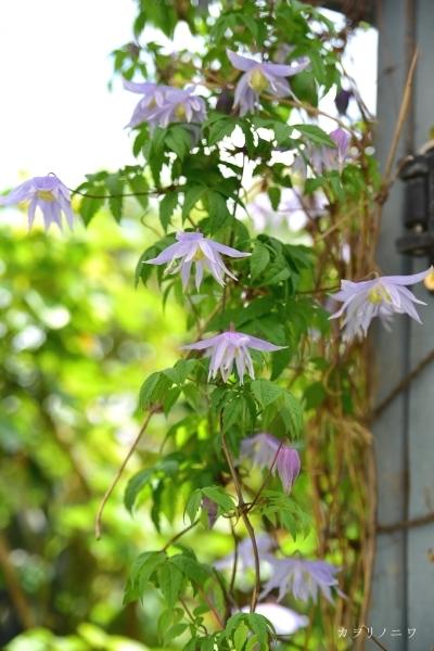 フローラリア咲く5月23日の庭_d0380314_20090130.jpg