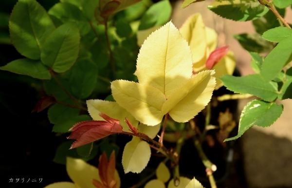 フローラリア咲く5月23日の庭_d0380314_20091783.jpg