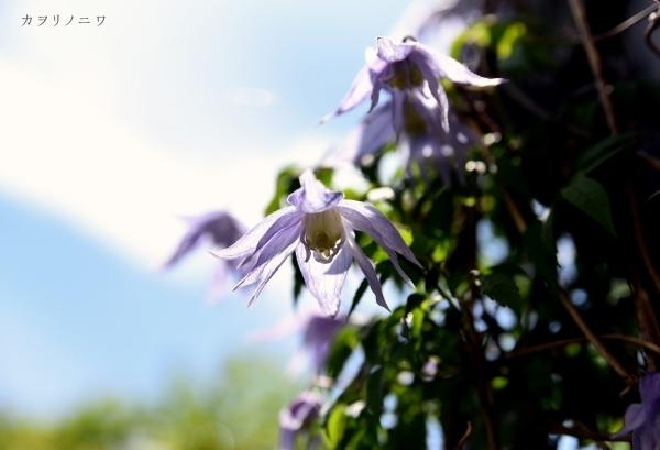 フローラリア咲く5月23日の庭_d0380314_20095351.jpg