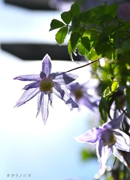 フローラリア咲く5月23日の庭_d0380314_20095523.jpg