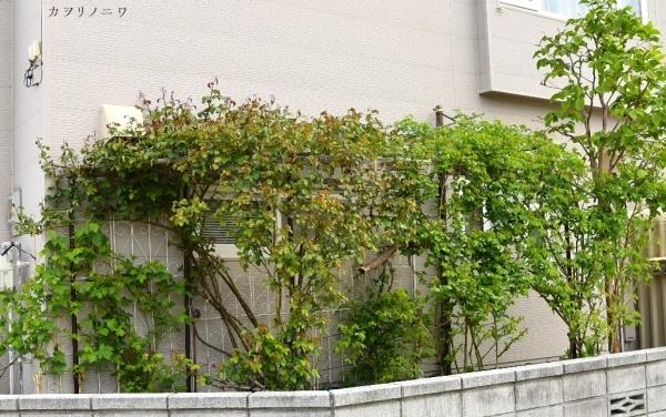 フローラリア咲く5月23日の庭_d0380314_20104139.jpg