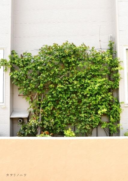 フローラリア咲く5月23日の庭_d0380314_20104428.jpg