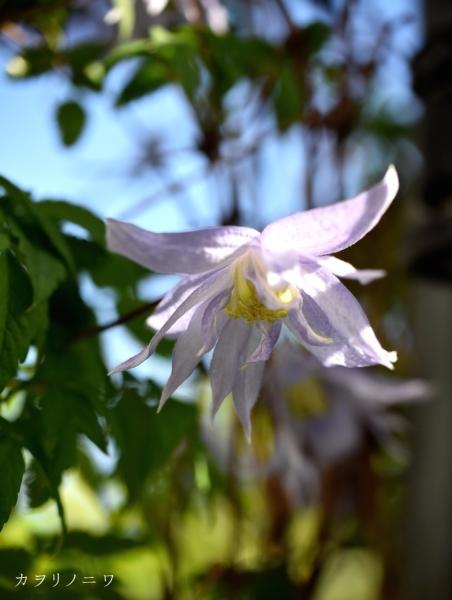 フローラリア咲く5月23日の庭_d0380314_20104757.jpg