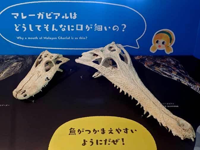 上野動物園: 両生爬虫類館特設展示 「ハラペコロジー~なにを食べる? どう食べる?」【前編】_b0355317_14083900.jpg