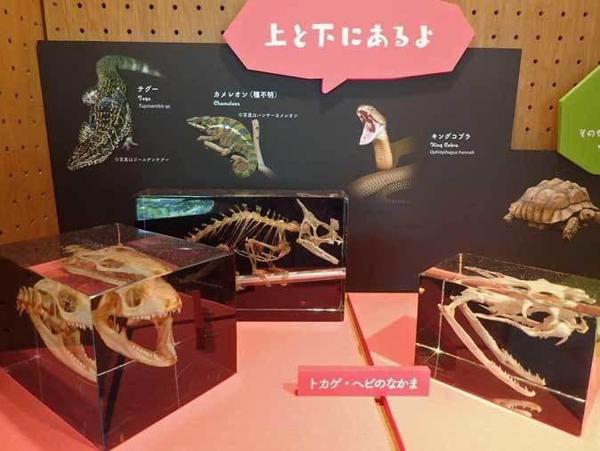 上野動物園: 両生爬虫類館特設展示 「ハラペコロジー~なにを食べる? どう食べる?」【後編】_b0355317_21545989.jpg