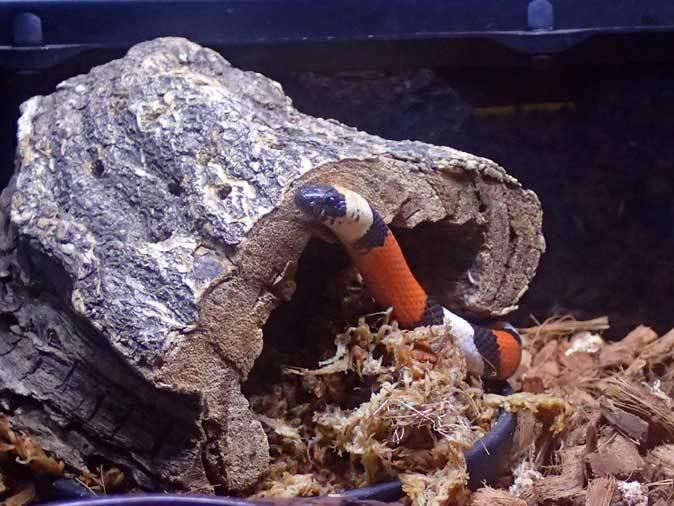 上野動物園: 両生爬虫類館特設展示 「ハラペコロジー~なにを食べる? どう食べる?」【後編】_b0355317_22204990.jpg
