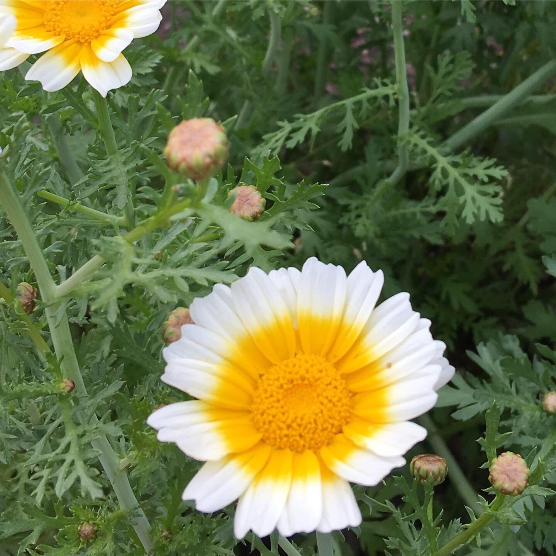春菊の花_e0155231_16273060.jpeg