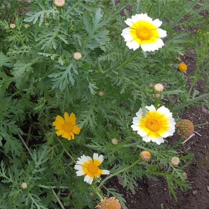 春菊の花_e0155231_16274139.jpeg