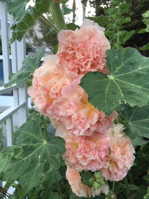 5月の庭ー立葵、紫陽花、グラジオラス_e0350971_00280445.jpg
