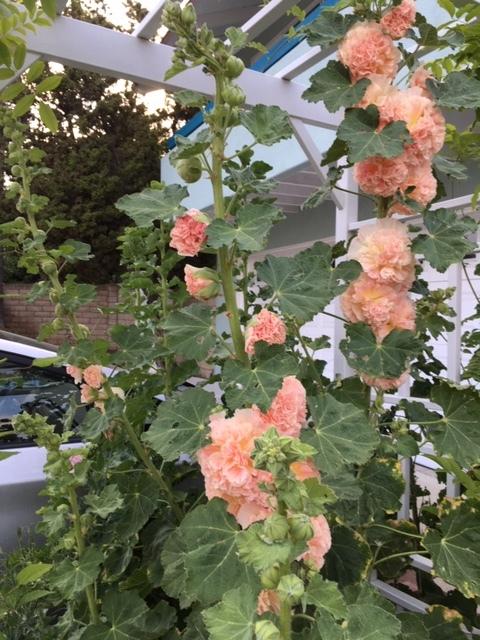 5月の庭ー立葵、紫陽花、グラジオラス_e0350971_00280884.jpg