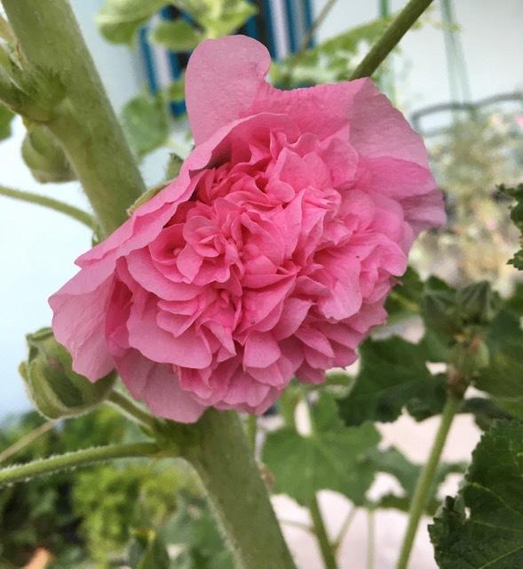 5月の庭ー立葵、紫陽花、グラジオラス_e0350971_00281135.jpg