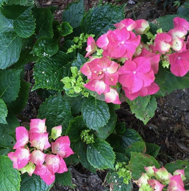5月の庭ー立葵、紫陽花、グラジオラス_e0350971_00282248.jpg
