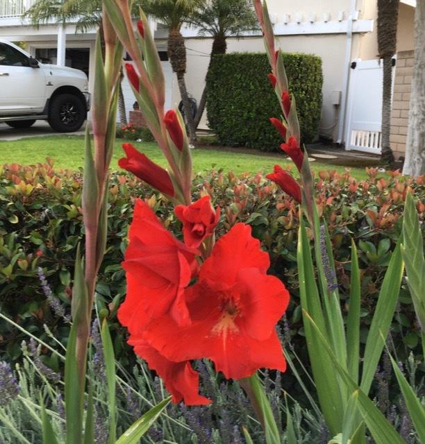 5月の庭ー立葵、紫陽花、グラジオラス_e0350971_00282983.jpg