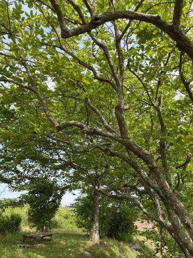 裏山の柿と庭のヤマボウシ_c0334574_19140205.jpeg