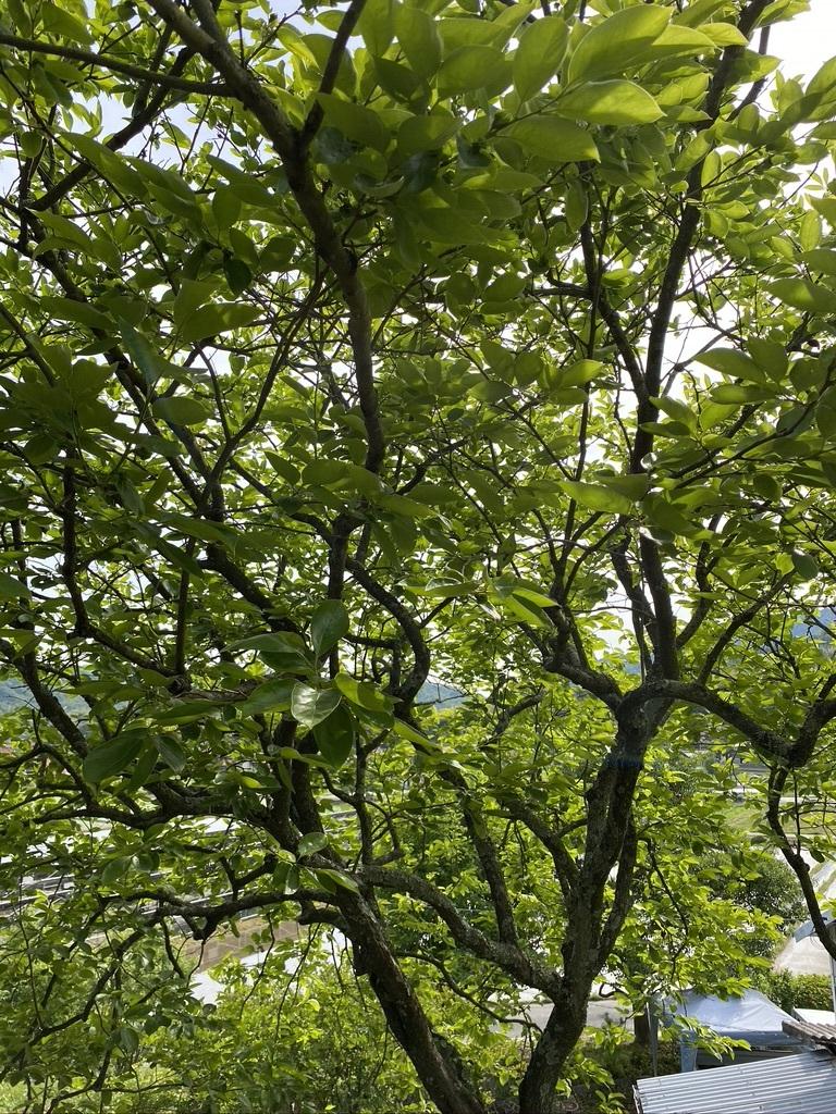 裏山の柿と庭のヤマボウシ_c0334574_19143788.jpeg
