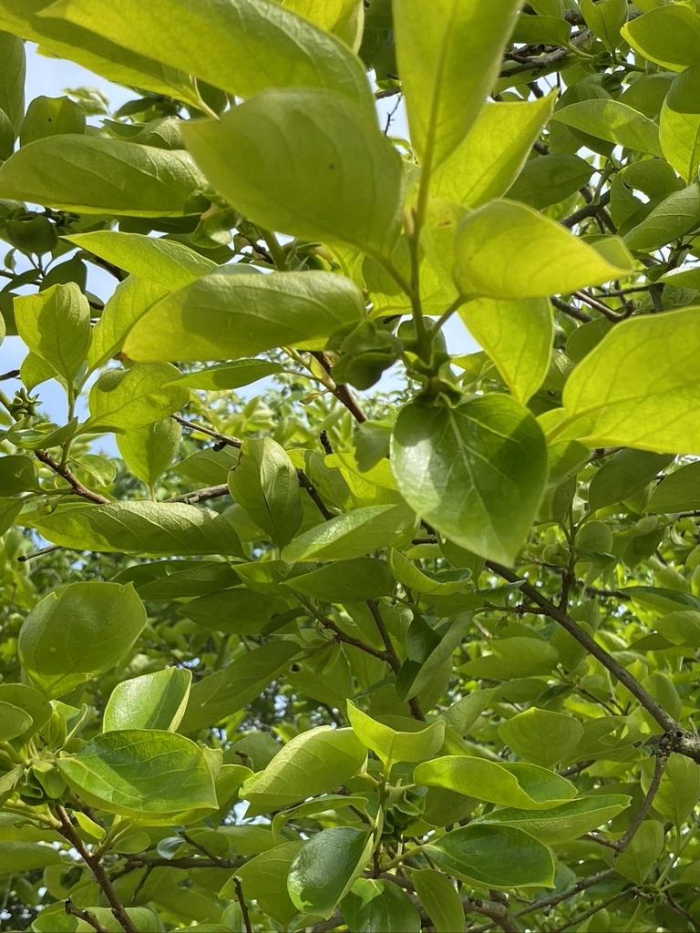 裏山の柿と庭のヤマボウシ_c0334574_19145672.jpeg