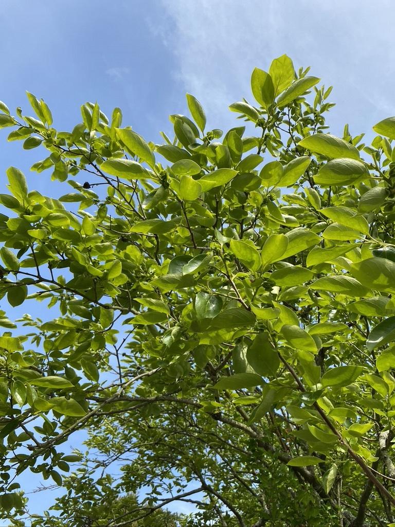 裏山の柿と庭のヤマボウシ_c0334574_19154380.jpeg