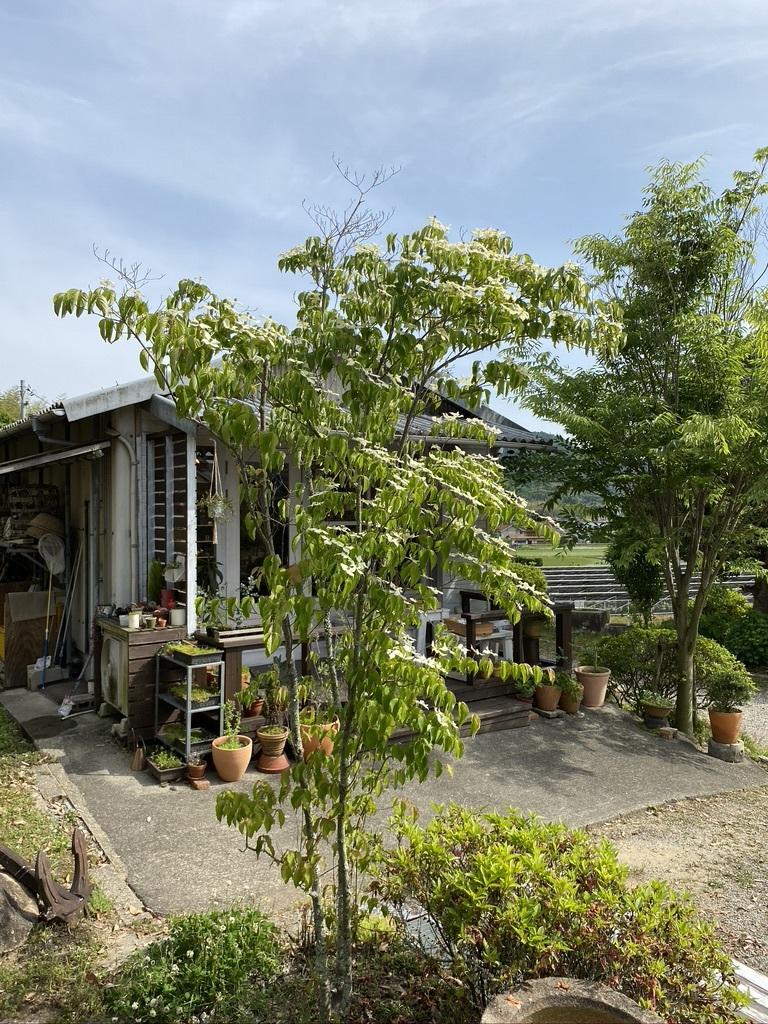 裏山の柿と庭のヤマボウシ_c0334574_19160535.jpeg