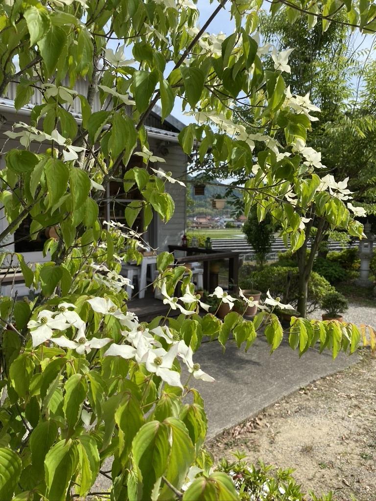 裏山の柿と庭のヤマボウシ_c0334574_19163032.jpeg