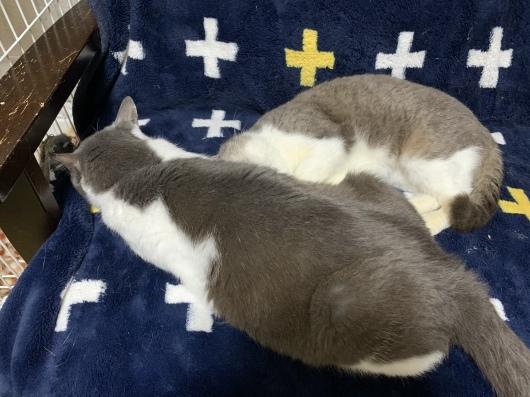 【お預かり猫】キララに嫌われて...。_a0170297_07264877.jpeg