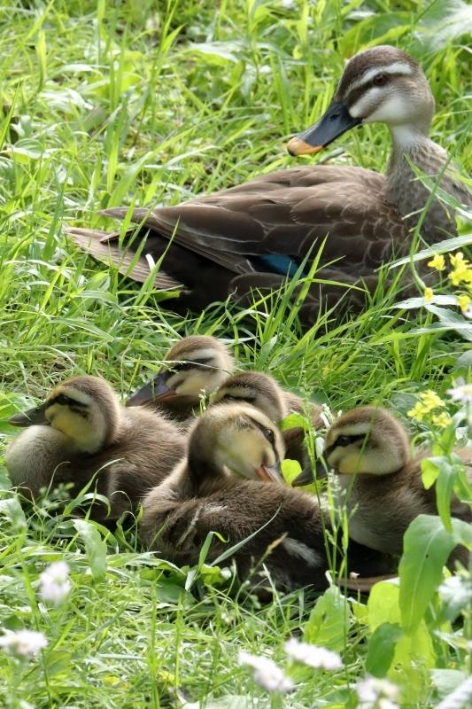 8羽いたのに5羽になっていた雛たち(足立区、東綾瀬公園) : 旅 ...