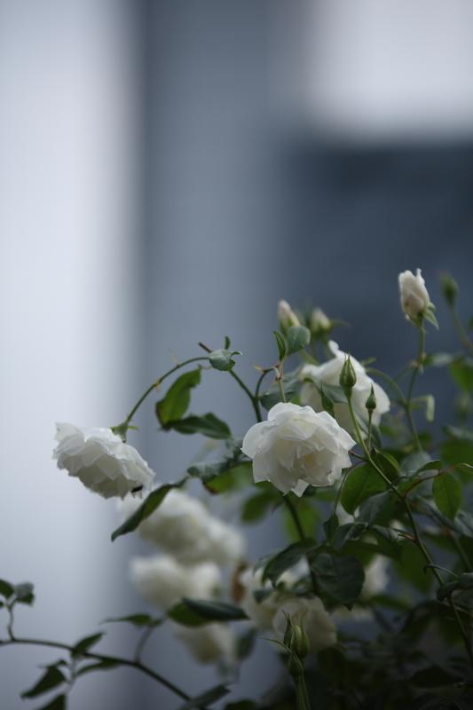 薔薇が泣いている_b0224616_18113212.jpg