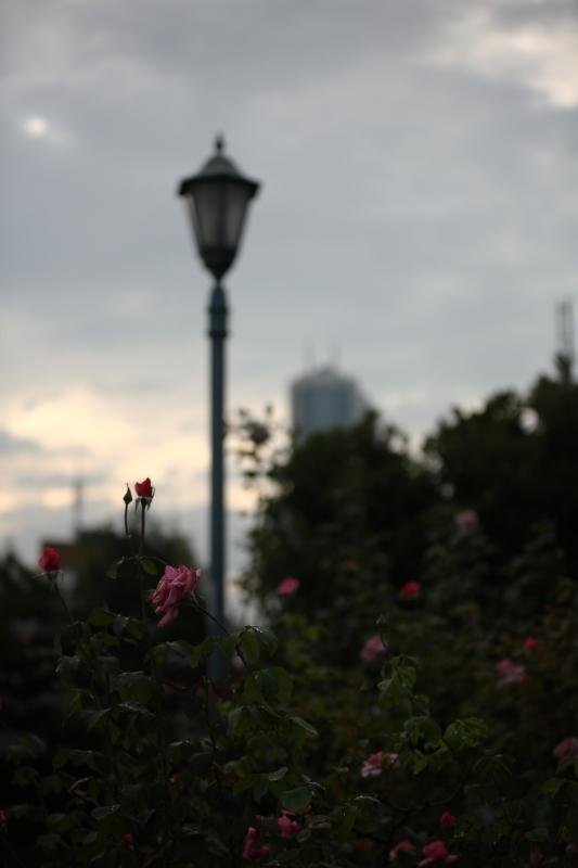薔薇が泣いている_b0224616_18113942.jpg