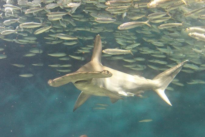 葛西臨海水族園:大洋の航海者 サメ【前編】_b0355317_13041929.jpg