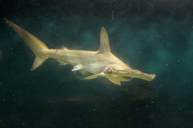 葛西臨海水族園:大洋の航海者 サメ【前編】_b0355317_13105562.jpg