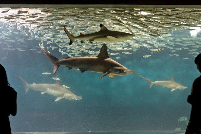 葛西臨海水族園:大洋の航海者 サメ【前編】_b0355317_13153822.jpg