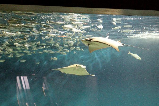 葛西臨海水族園:大洋の航海者 サメ【前編】_b0355317_13183794.jpg