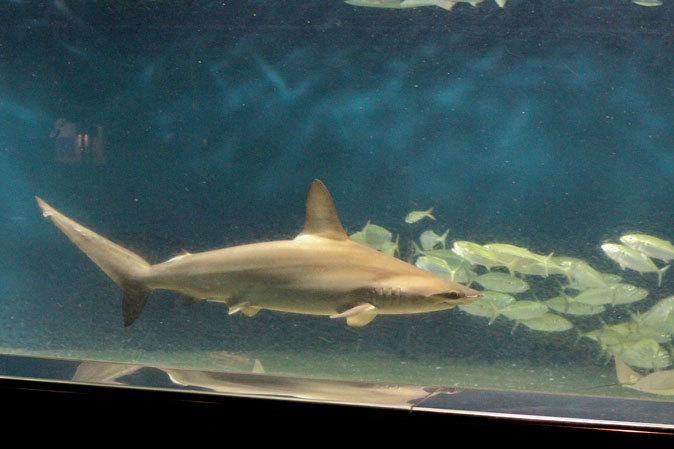 葛西臨海水族園:大洋の航海者 サメ【前編】_b0355317_13191395.jpg